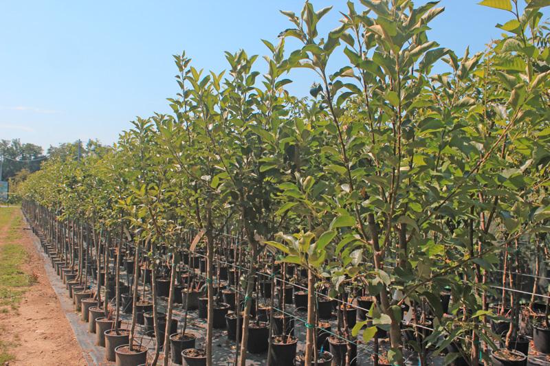 Piante da frutto vivai luchetta for Vivai piante da frutto